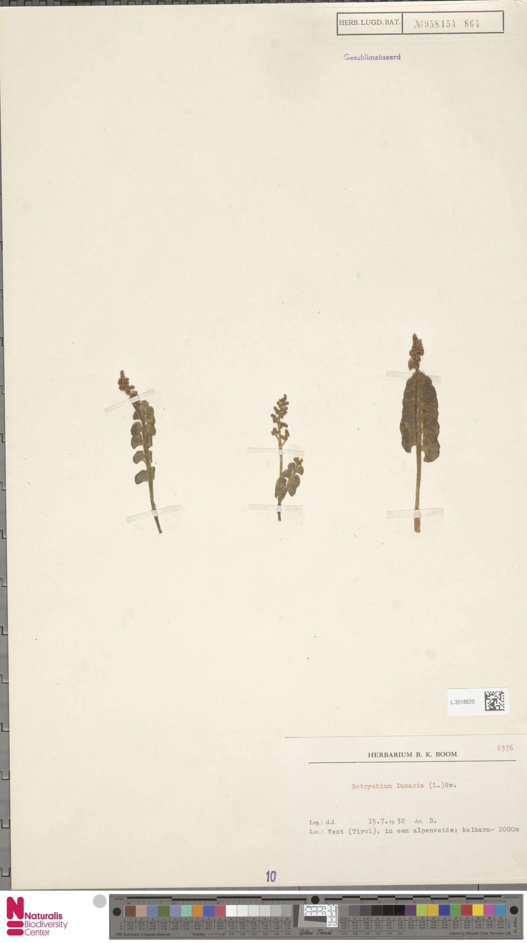 L.3518620 | Botrychium lunaria (L.) Sw.