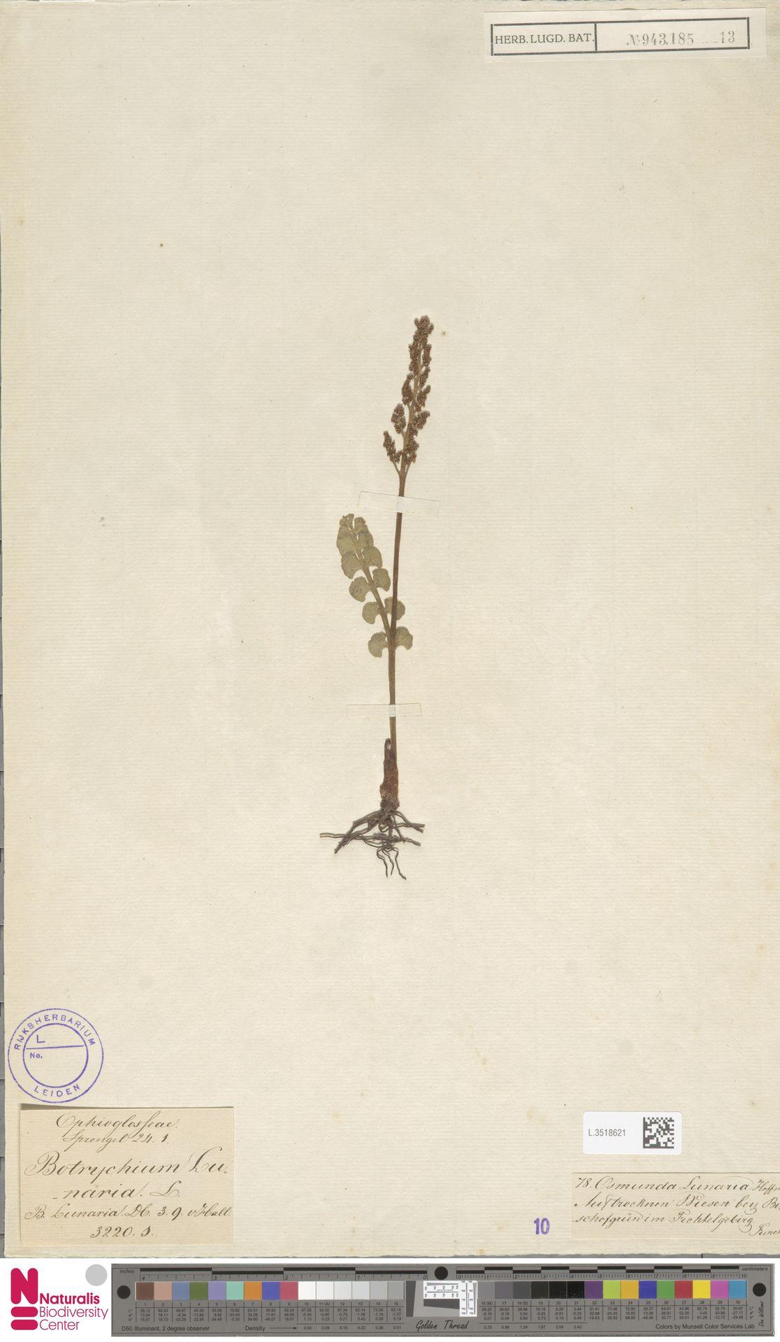 L.3518621   Botrychium lunaria (L.) Sw.