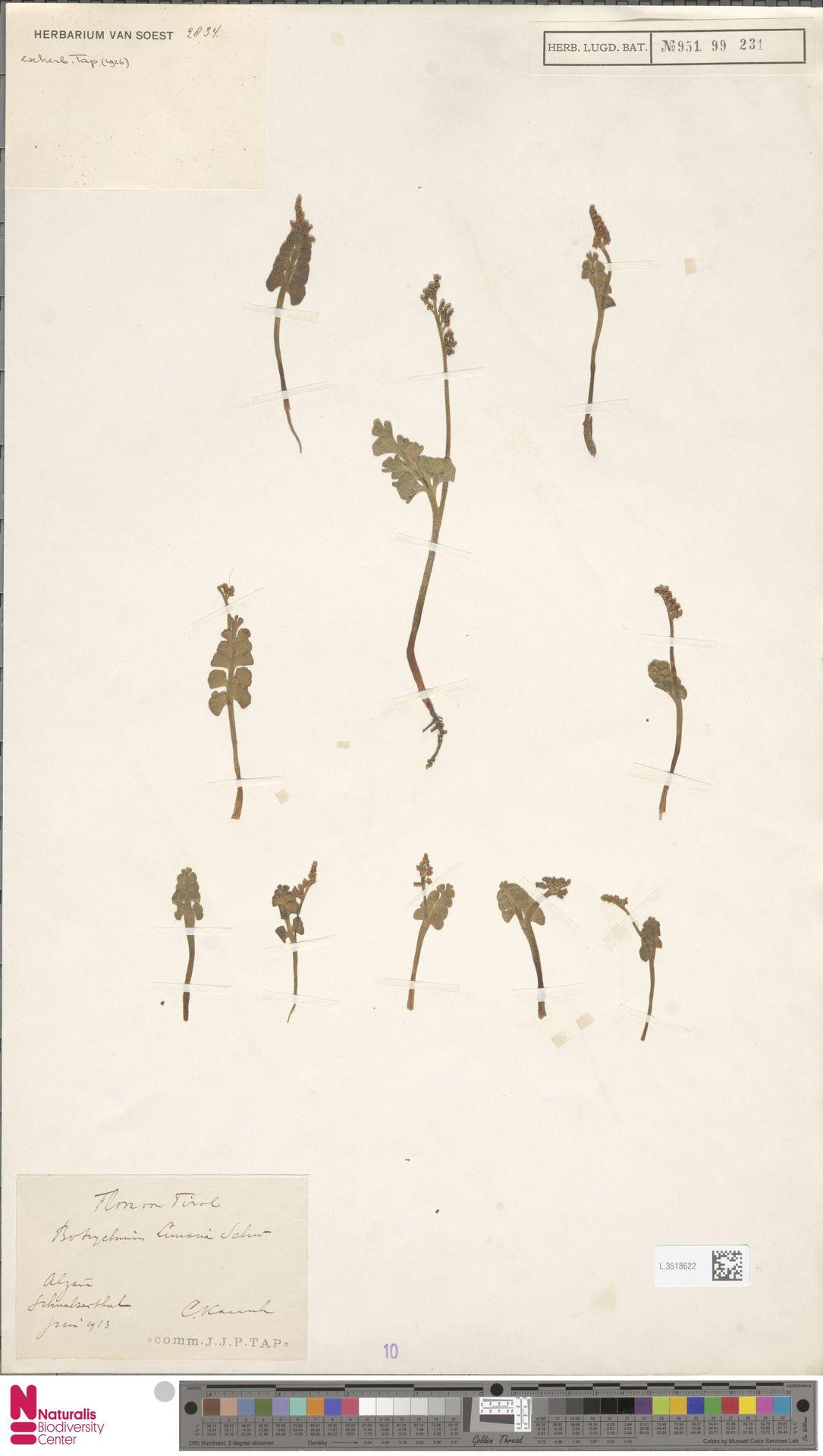 L.3518622 | Botrychium lunaria (L.) Sw.