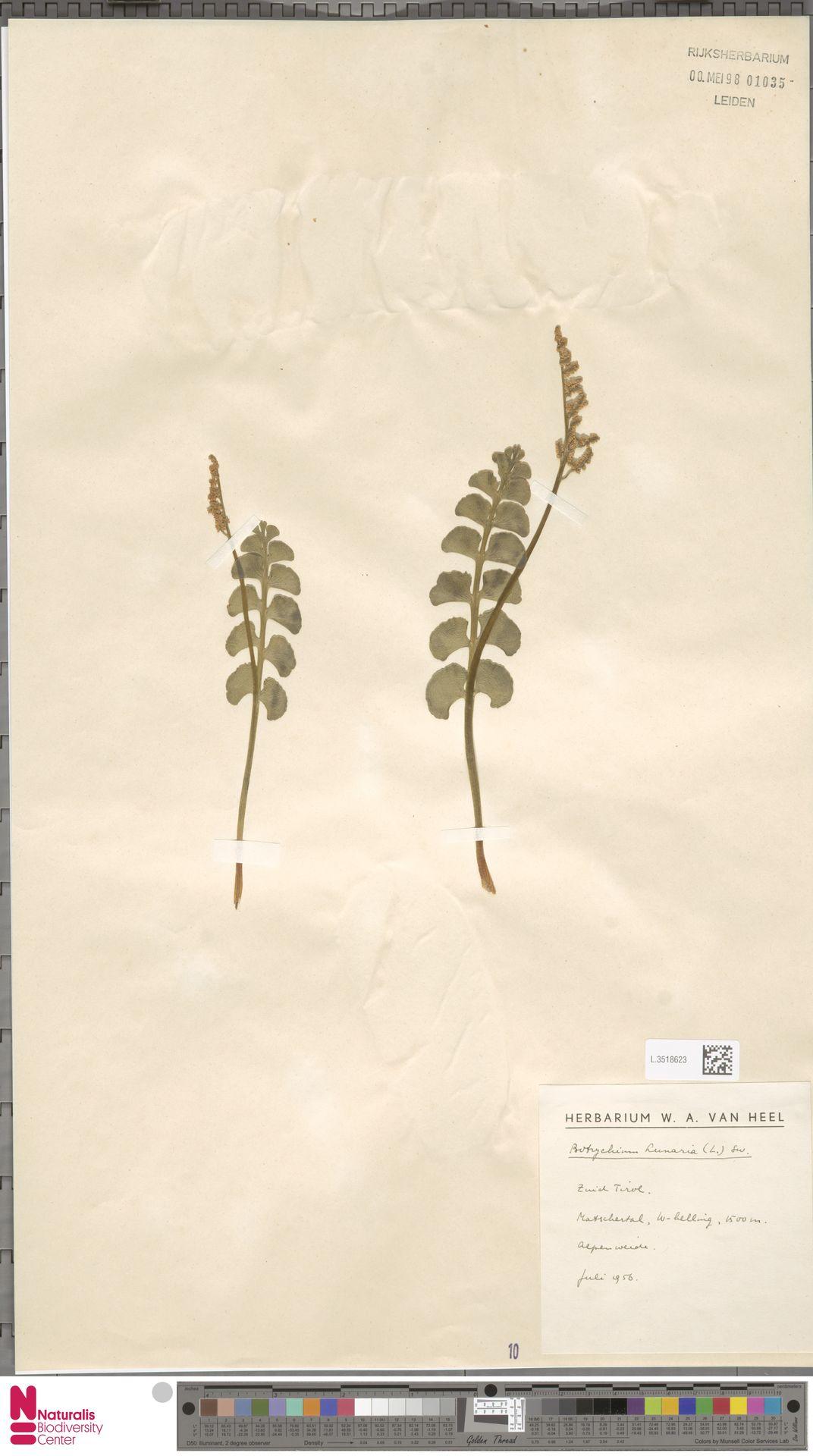 L.3518623   Botrychium lunaria (L.) Sw.