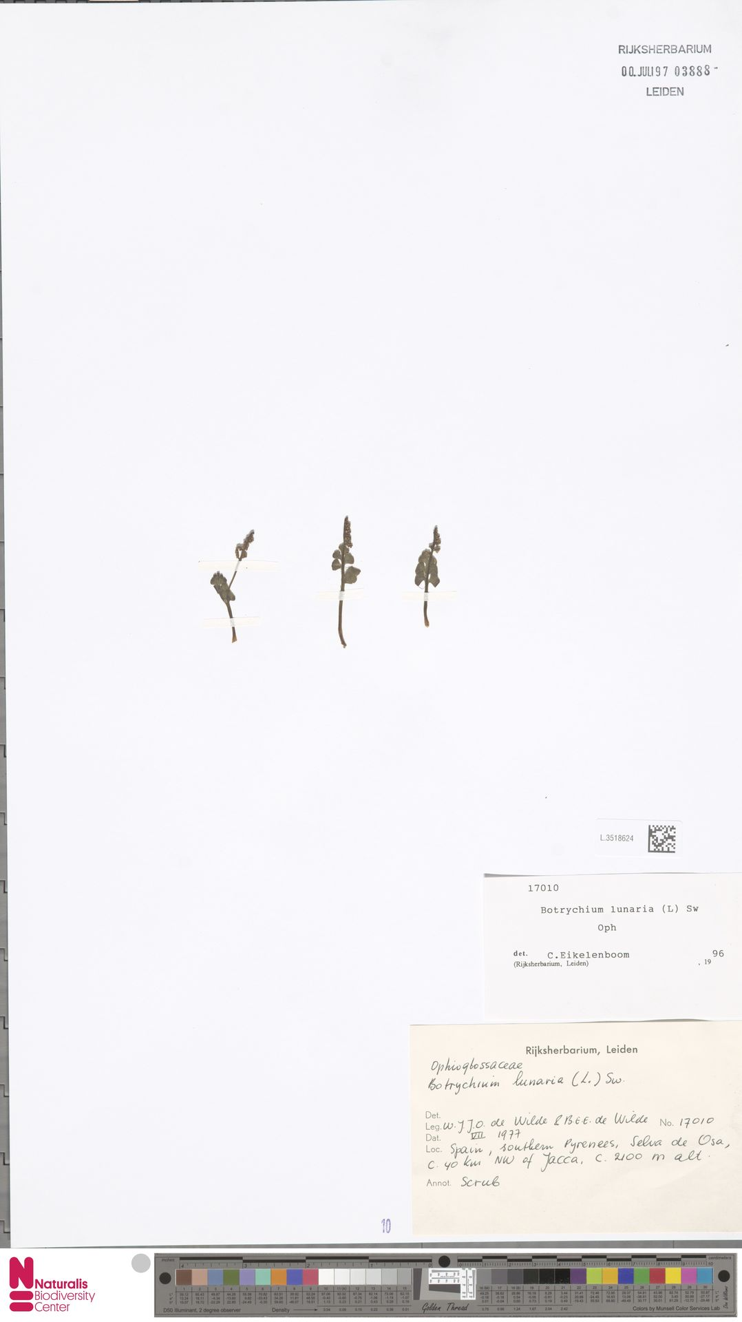L.3518624   Botrychium lunaria (L.) Sw.