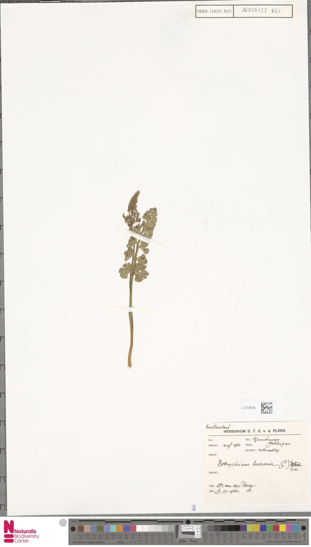 L.3518626 | Botrychium lunaria (L.) Sw.