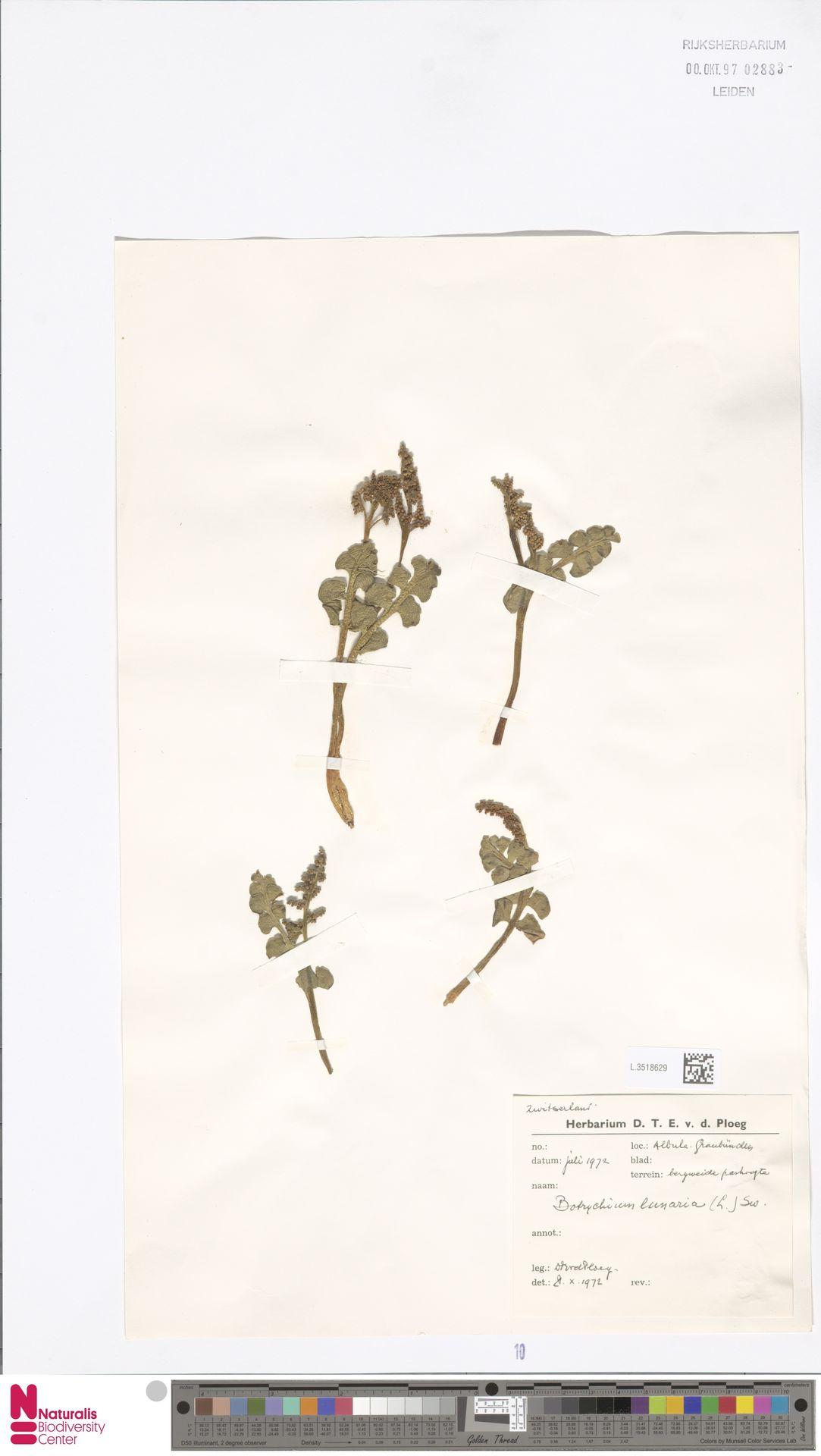 L.3518629 | Botrychium lunaria (L.) Sw.