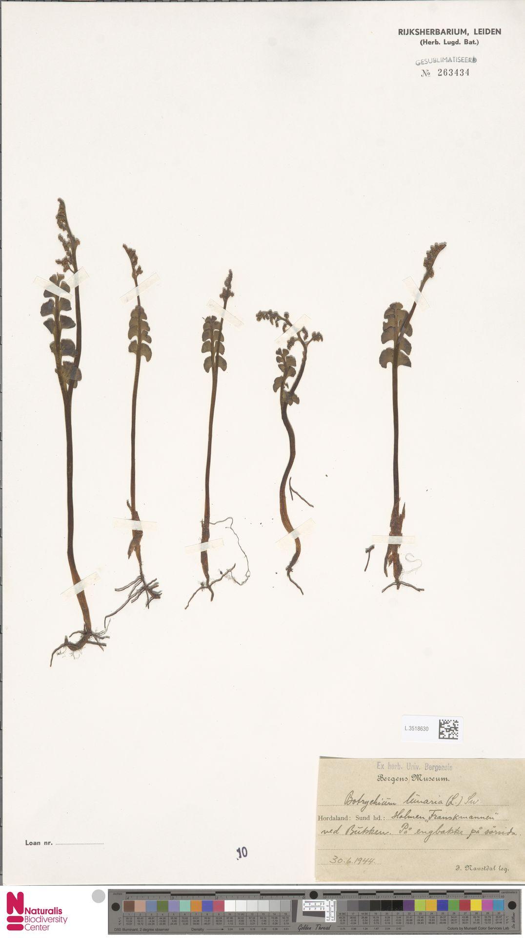 L.3518630 | Botrychium lunaria (L.) Sw.