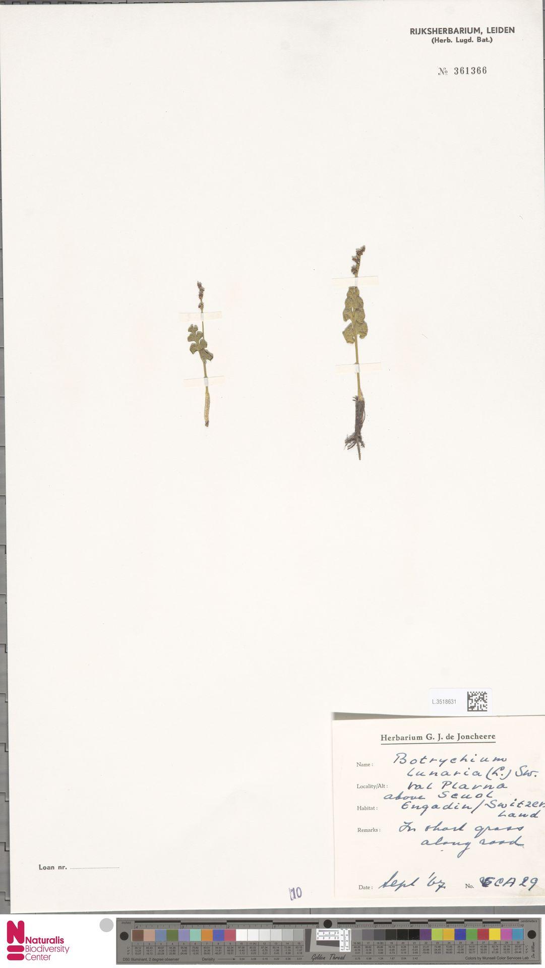 L.3518631 | Botrychium lunaria (L.) Sw.