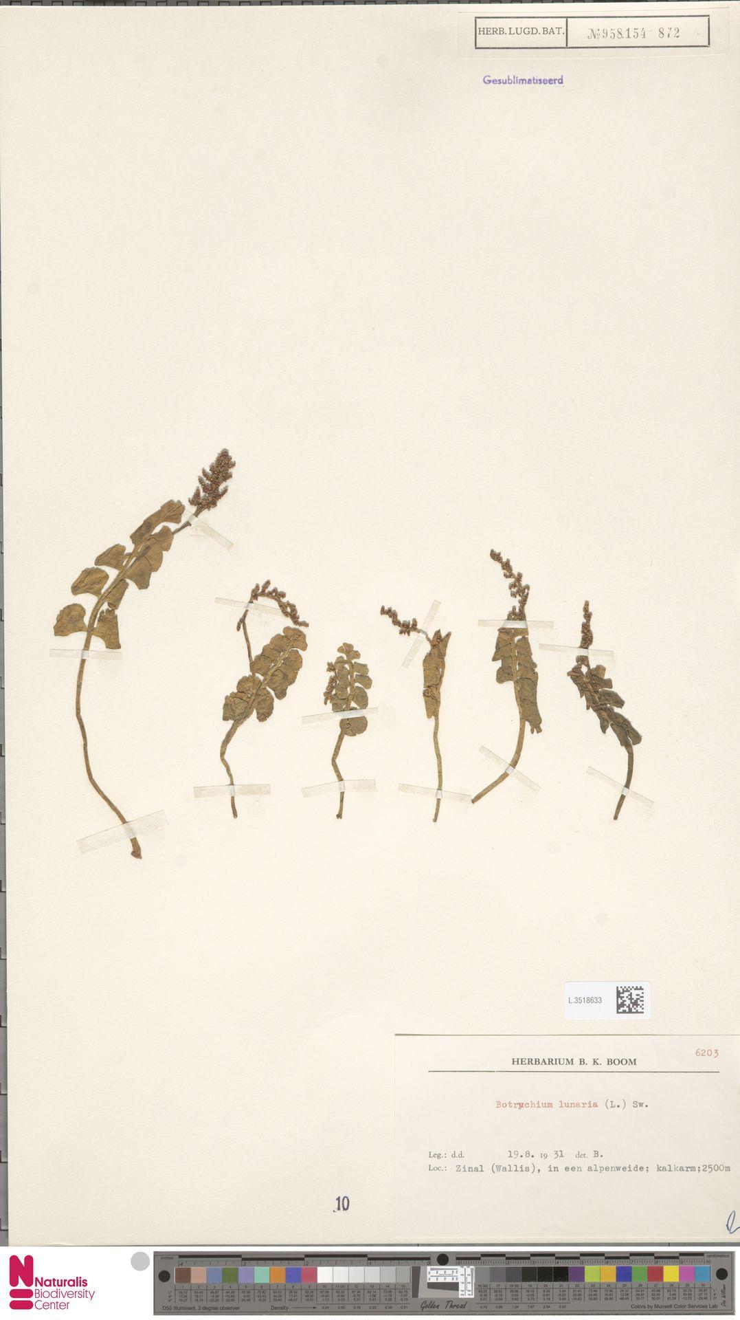 L.3518633 | Botrychium lunaria (L.) Sw.