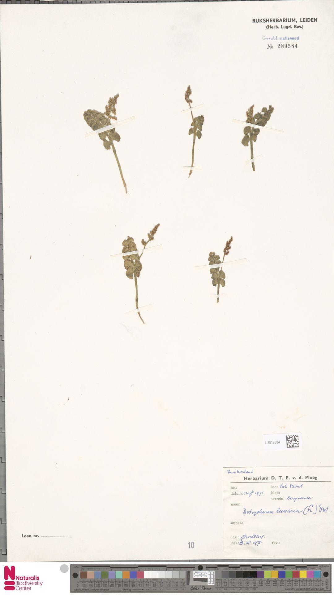 L.3518634 | Botrychium lunaria (L.) Sw.
