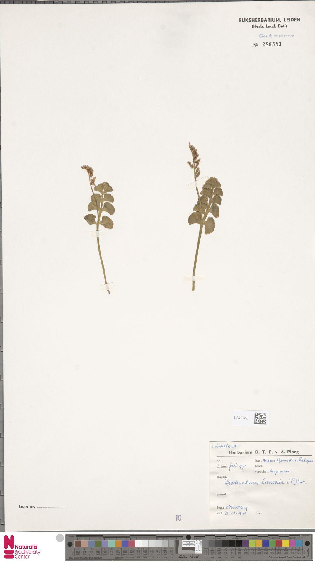 L.3518635   Botrychium lunaria (L.) Sw.