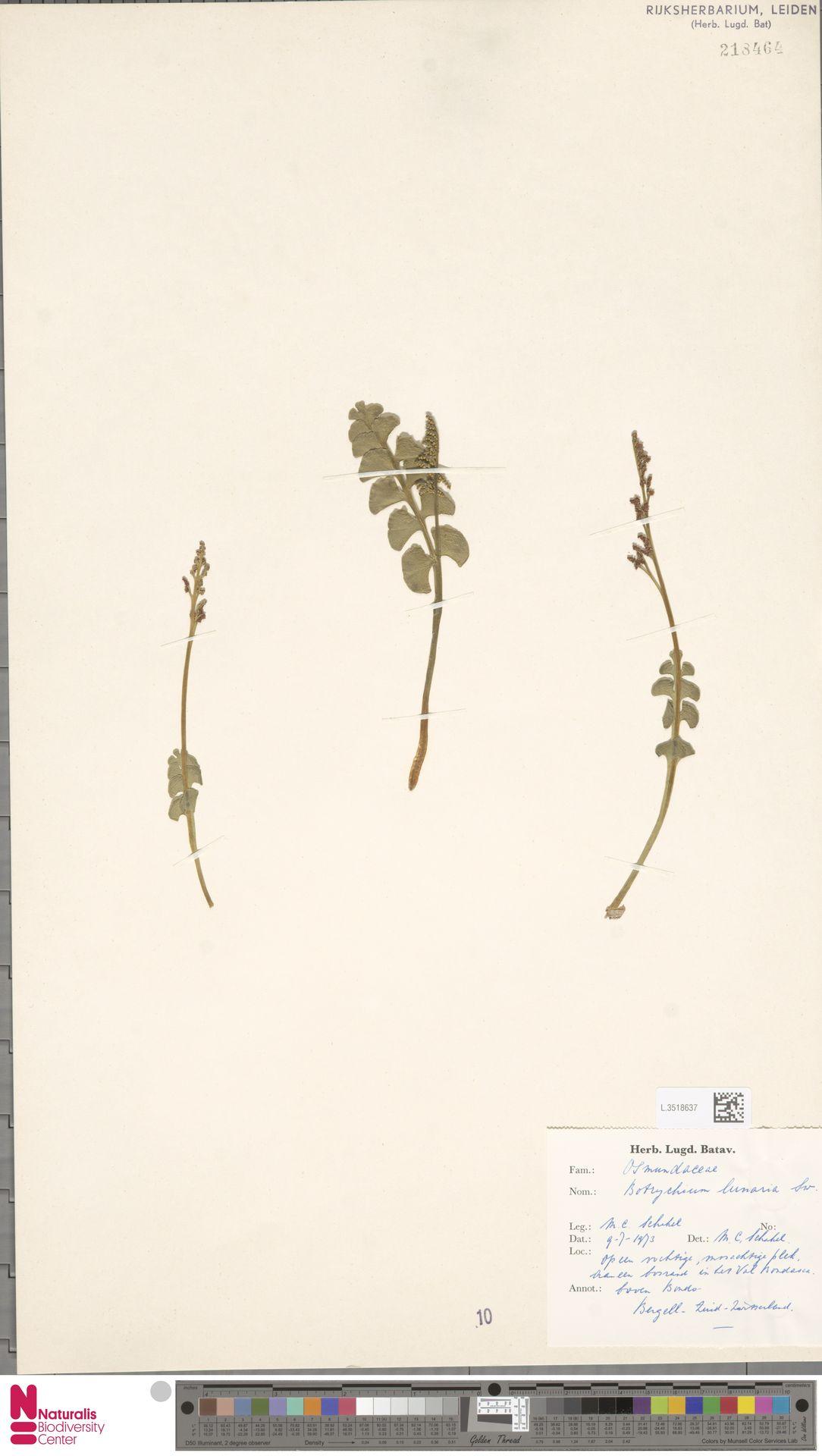 L.3518637 | Botrychium lunaria (L.) Sw.
