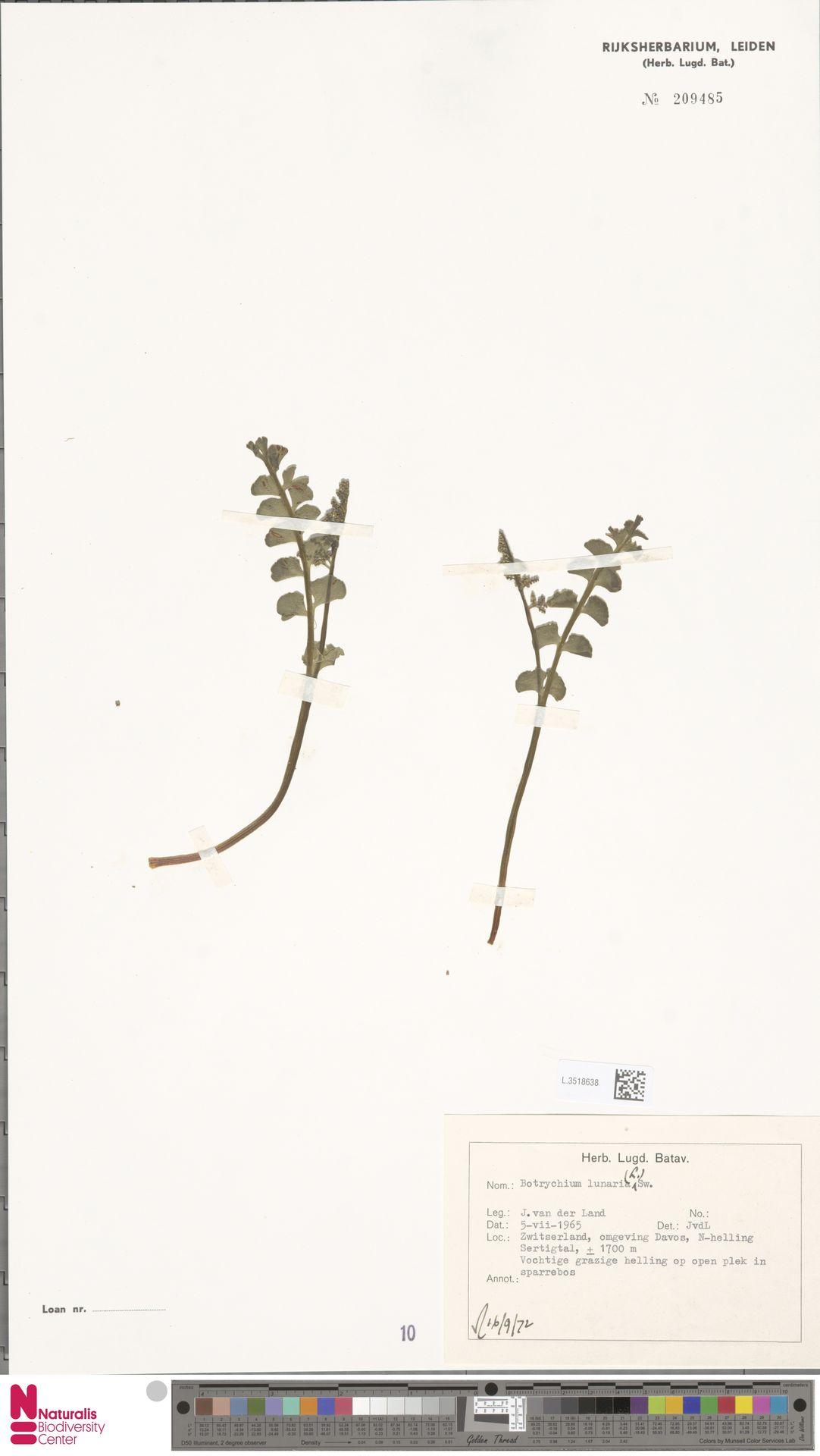L.3518638 | Botrychium lunaria (L.) Sw.