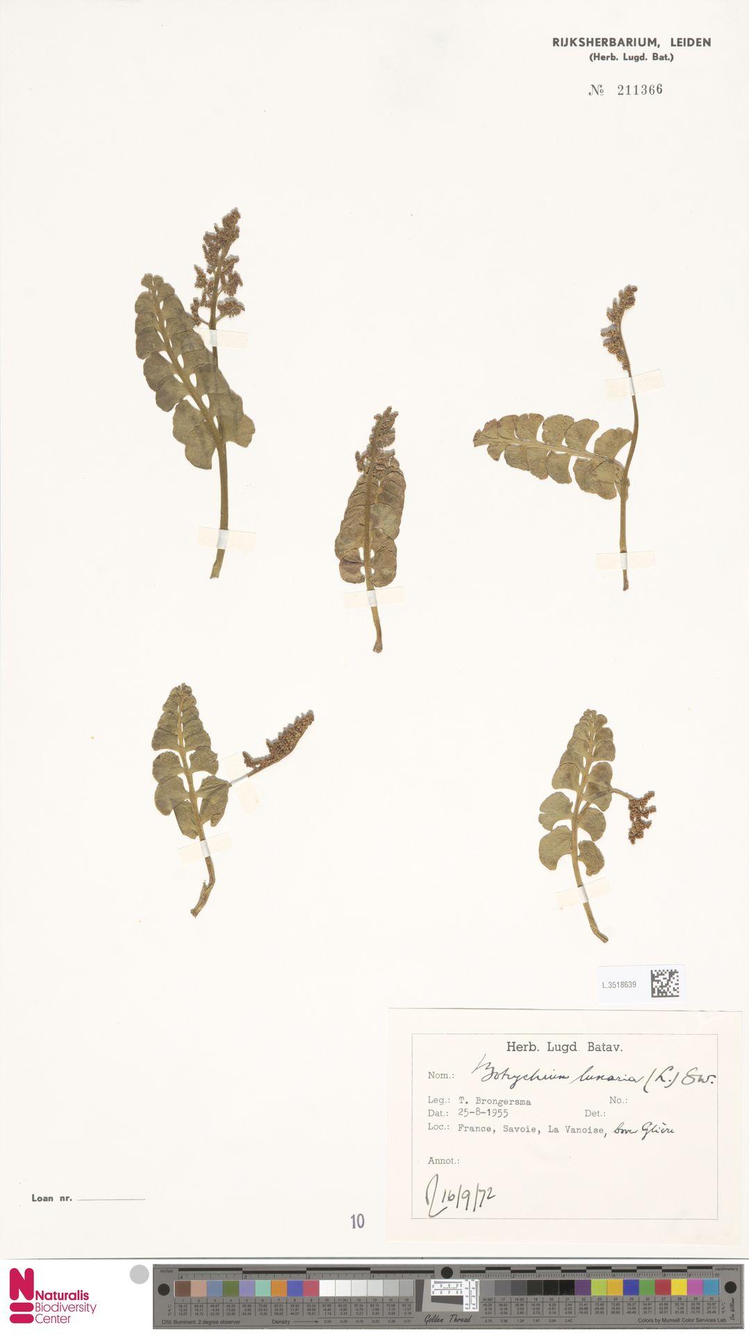L.3518639 | Botrychium lunaria (L.) Sw.