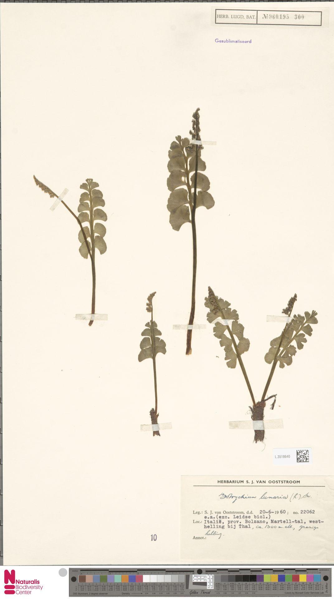 L.3518640 | Botrychium lunaria (L.) Sw.