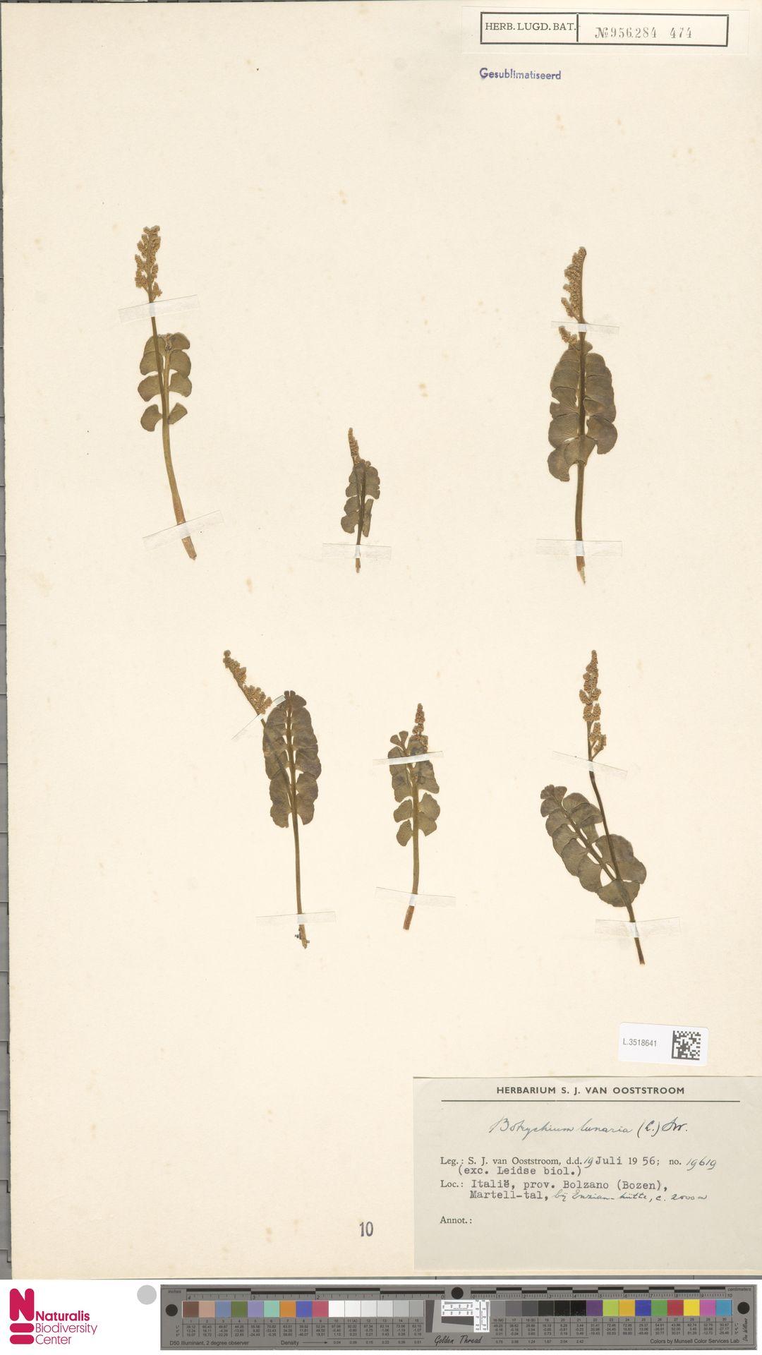L.3518641 | Botrychium lunaria (L.) Sw.