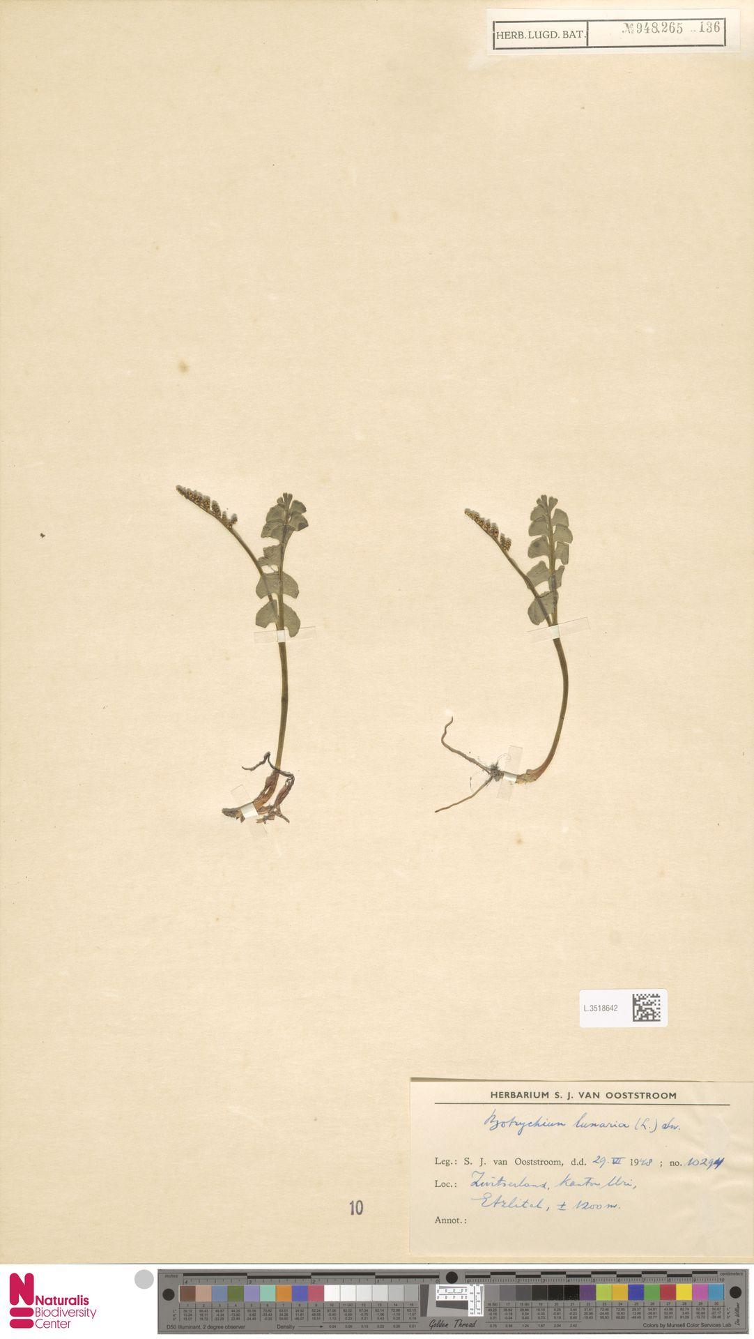 L.3518642 | Botrychium lunaria (L.) Sw.