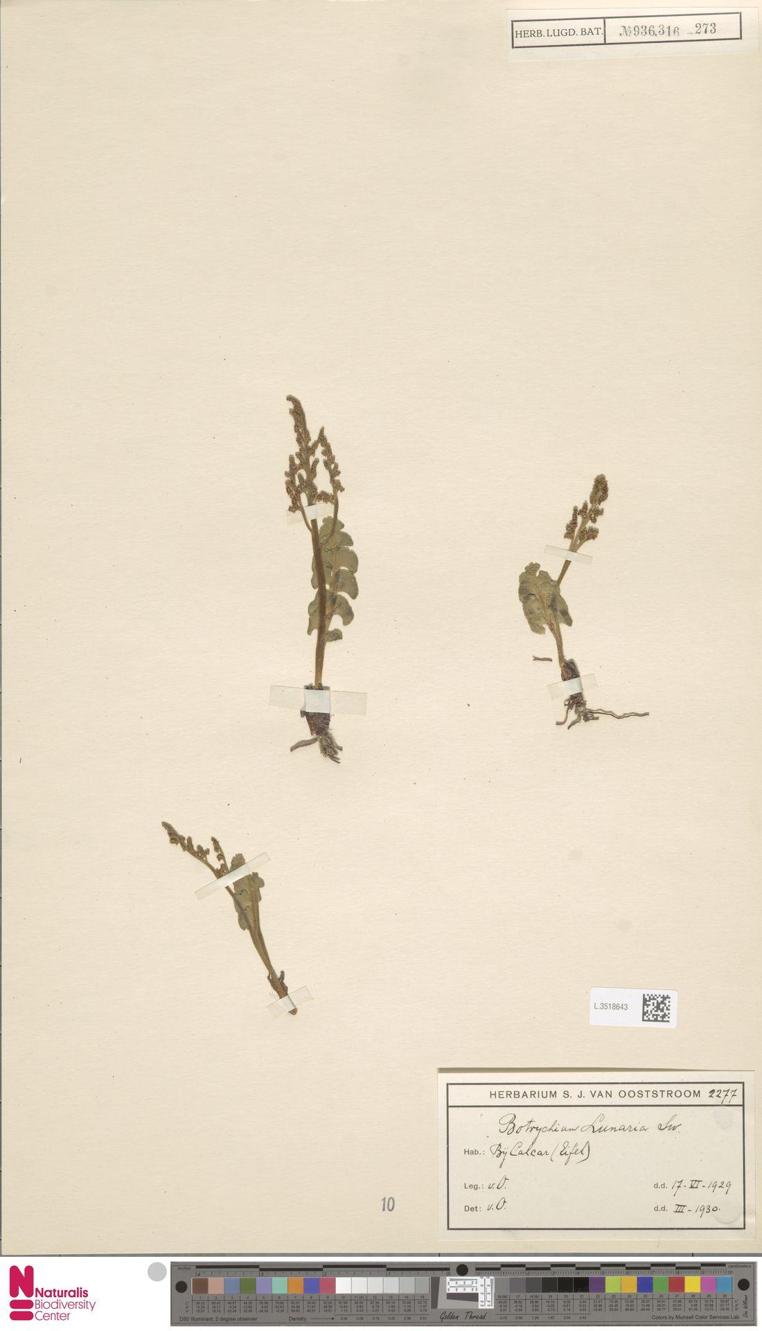 L.3518643 | Botrychium lunaria (L.) Sw.