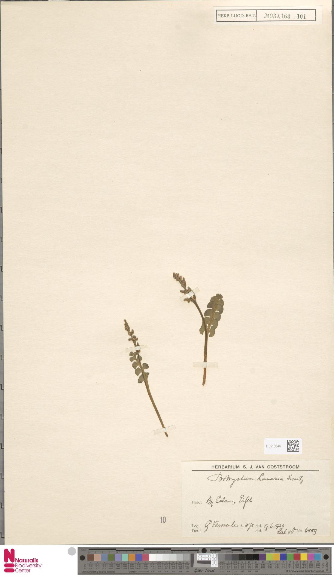 L.3518644 | Botrychium lunaria (L.) Sw.