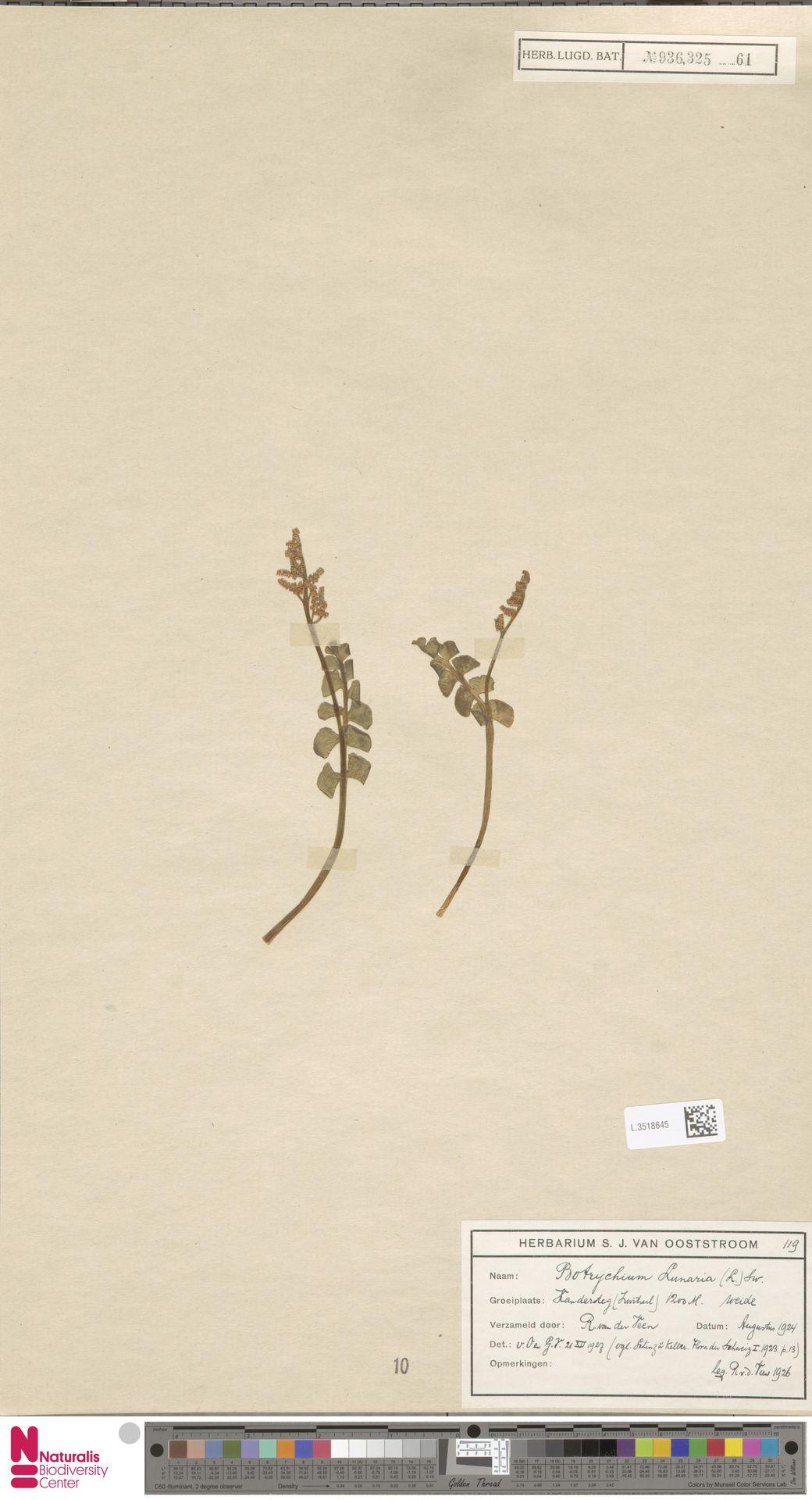 L.3518645 | Botrychium lunaria (L.) Sw.