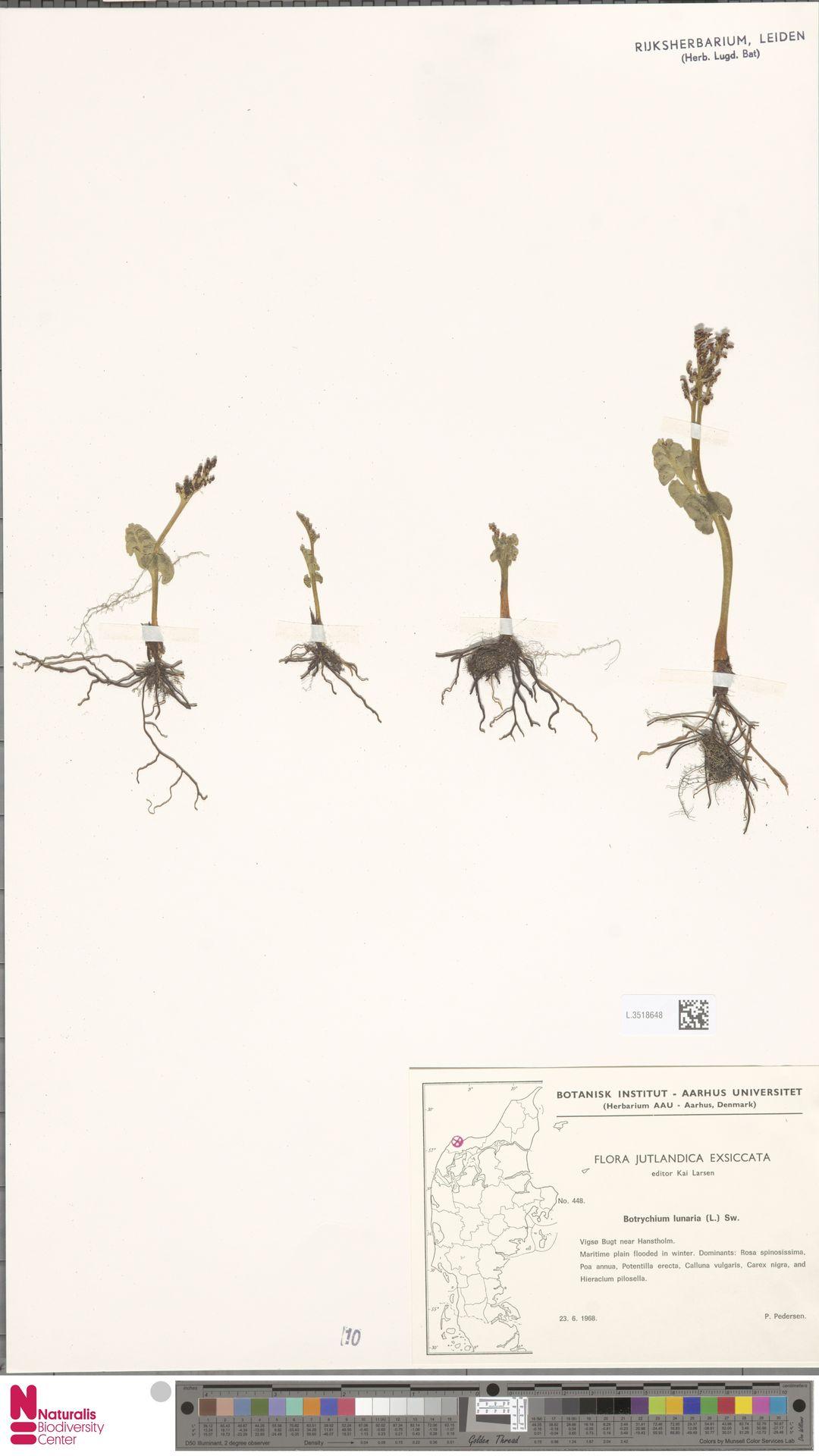 L.3518648 | Botrychium lunaria (L.) Sw.