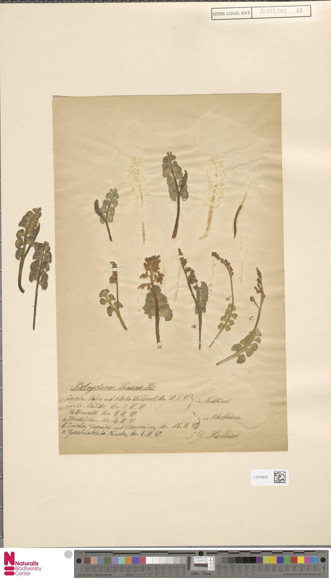L.3518650 | Botrychium lunaria (L.) Sw.
