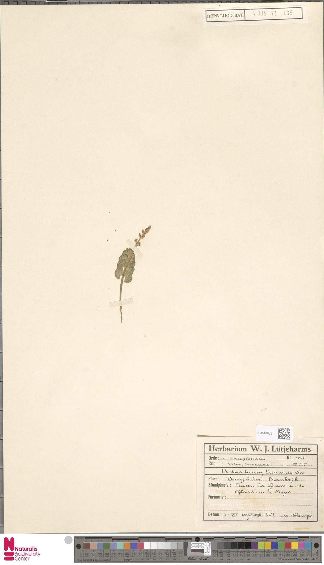 L.3518652 | Botrychium lunaria (L.) Sw.