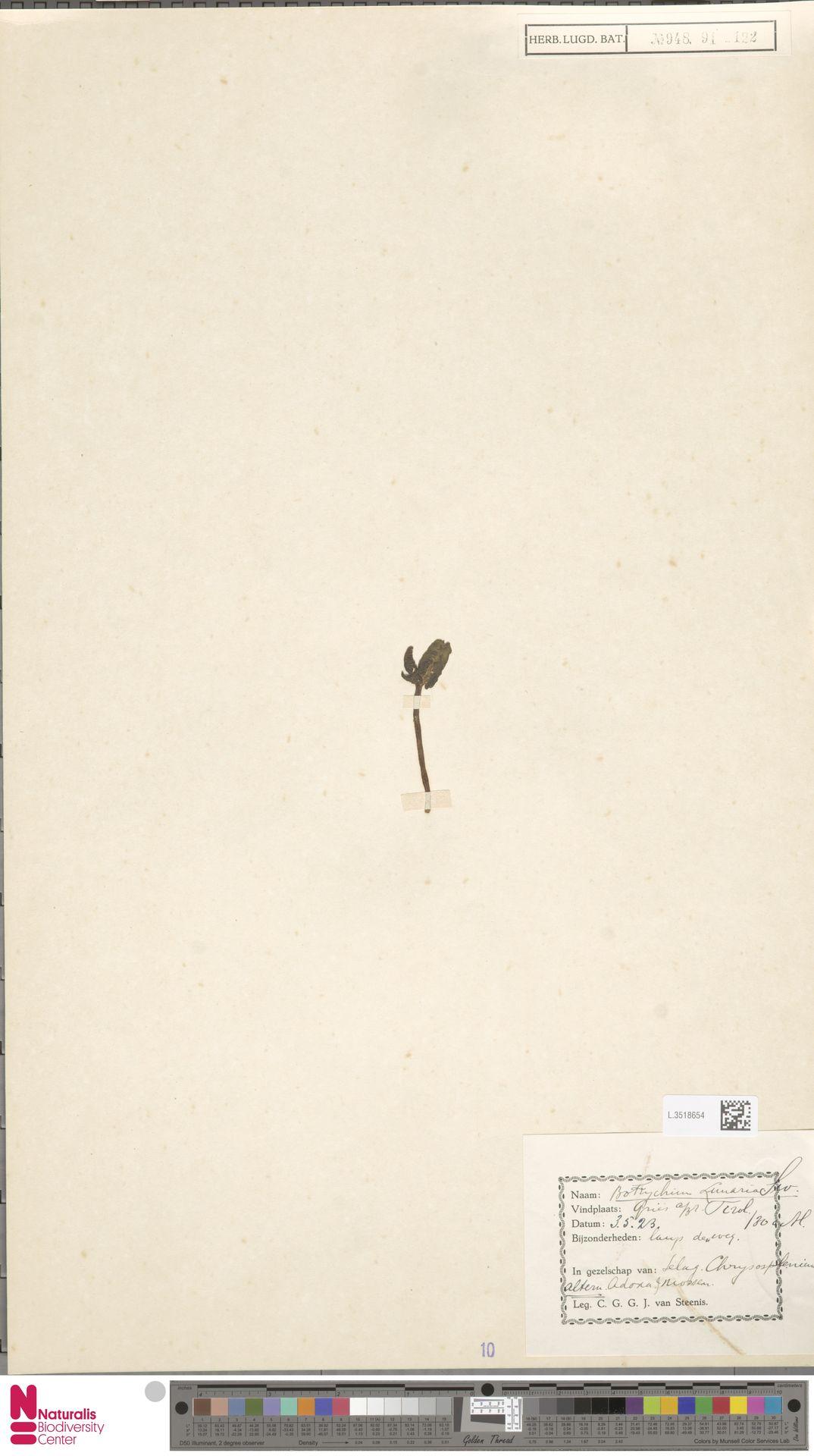 L.3518654 | Botrychium lunaria (L.) Sw.