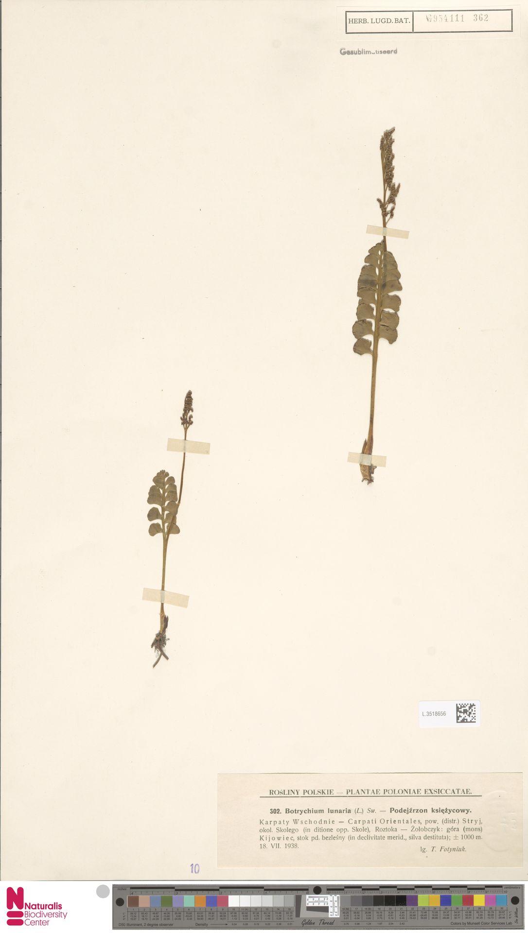 L.3518656 | Botrychium lunaria (L.) Sw.