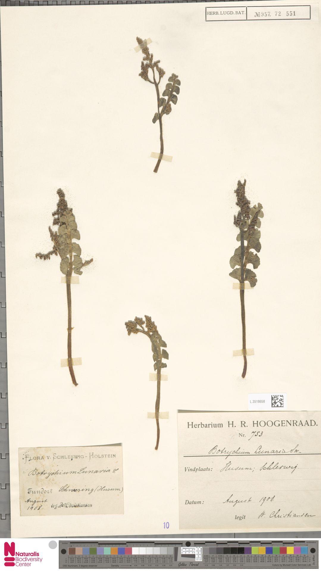 L.3518658 | Botrychium lunaria (L.) Sw.