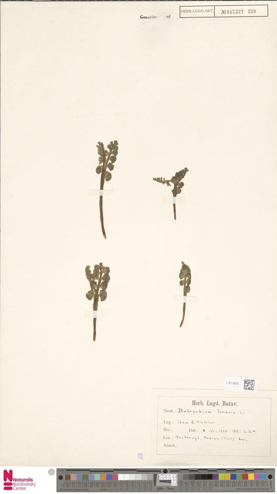 L.3518659   Botrychium lunaria (L.) Sw.