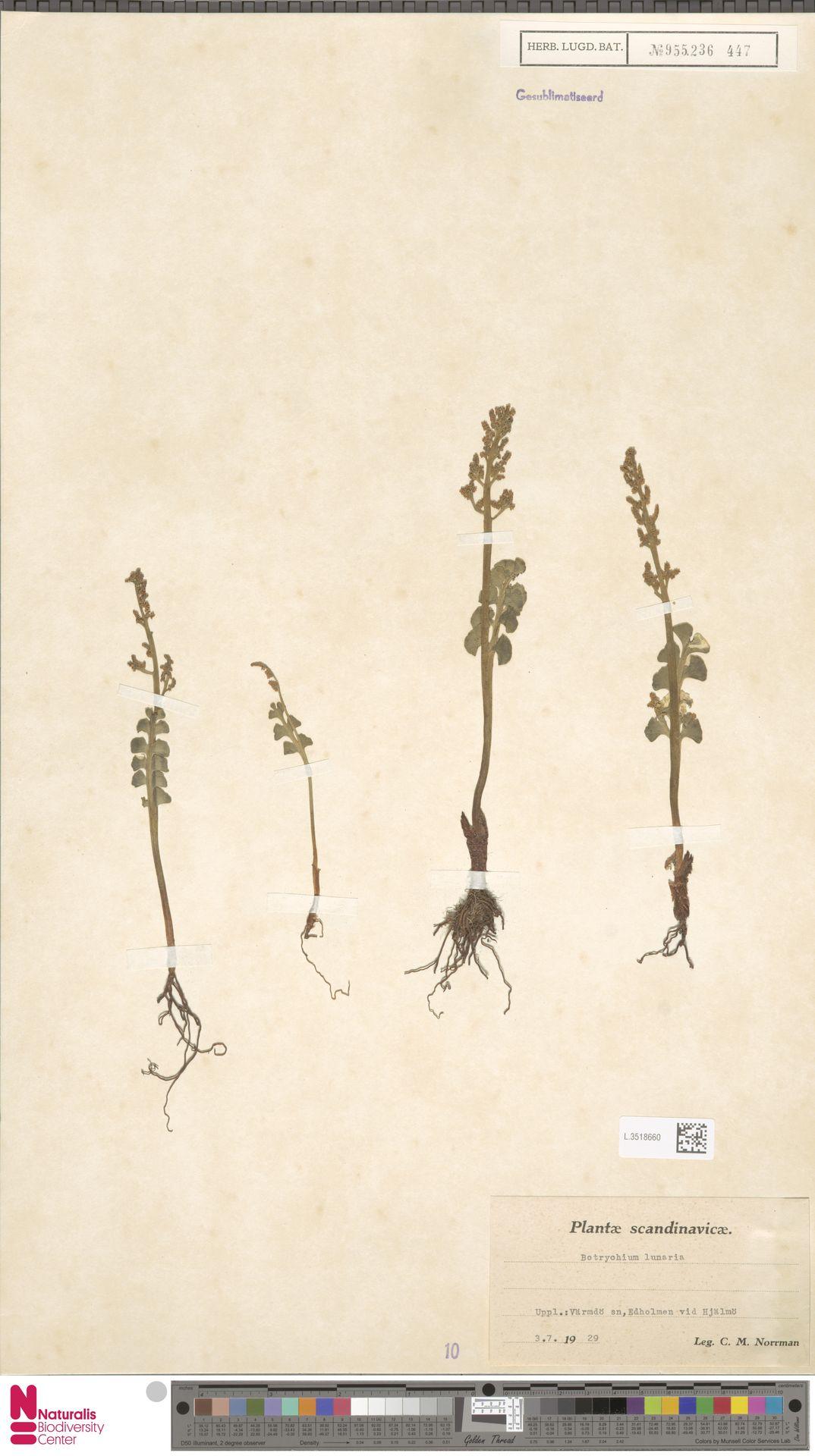 L.3518660 | Botrychium lunaria (L.) Sw.