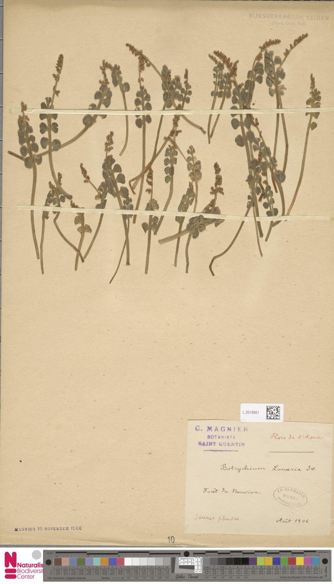 L.3518661 | Botrychium lunaria (L.) Sw.