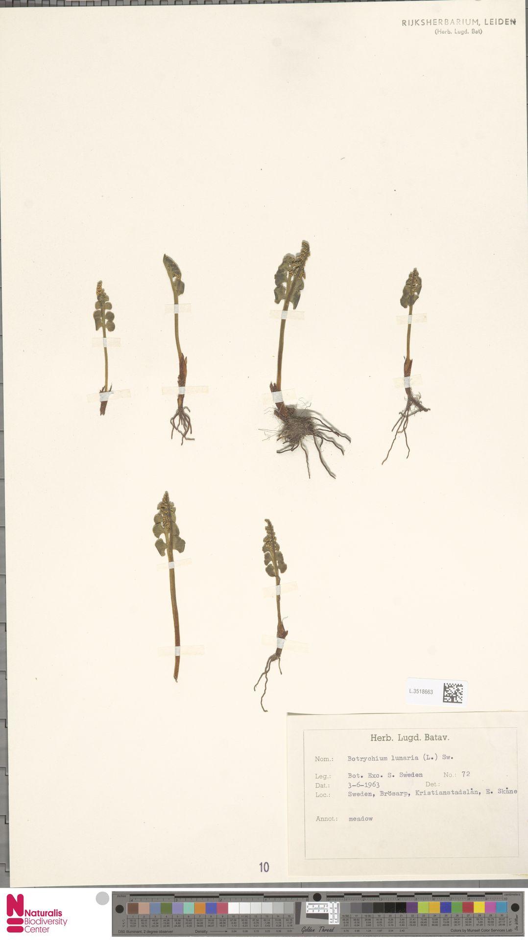 L.3518663 | Botrychium lunaria (L.) Sw.