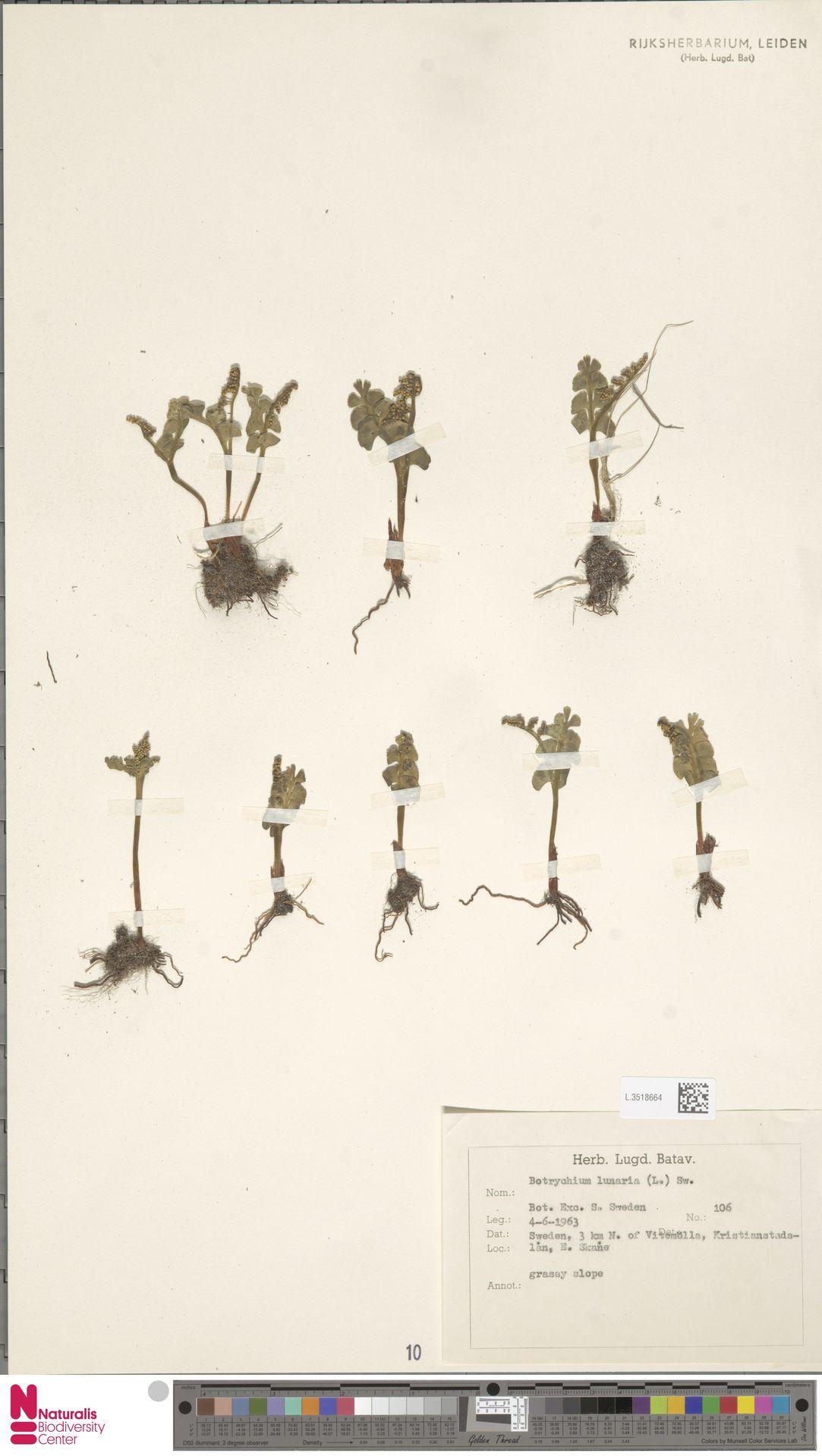 L.3518664 | Botrychium lunaria (L.) Sw.