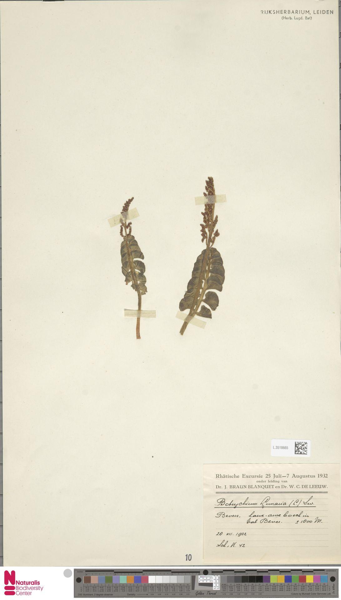 L.3518665 | Botrychium lunaria (L.) Sw.