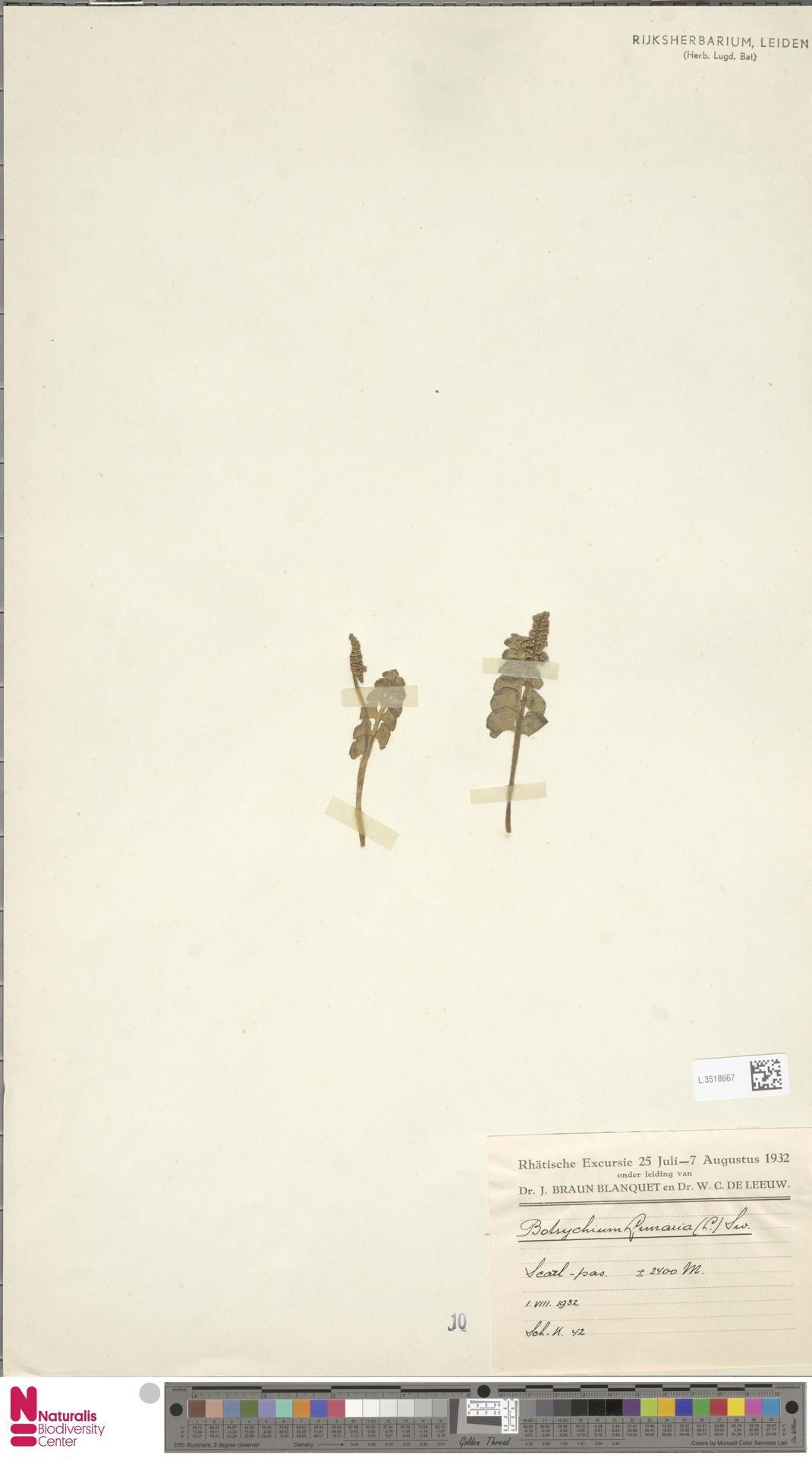 L.3518667 | Botrychium lunaria (L.) Sw.