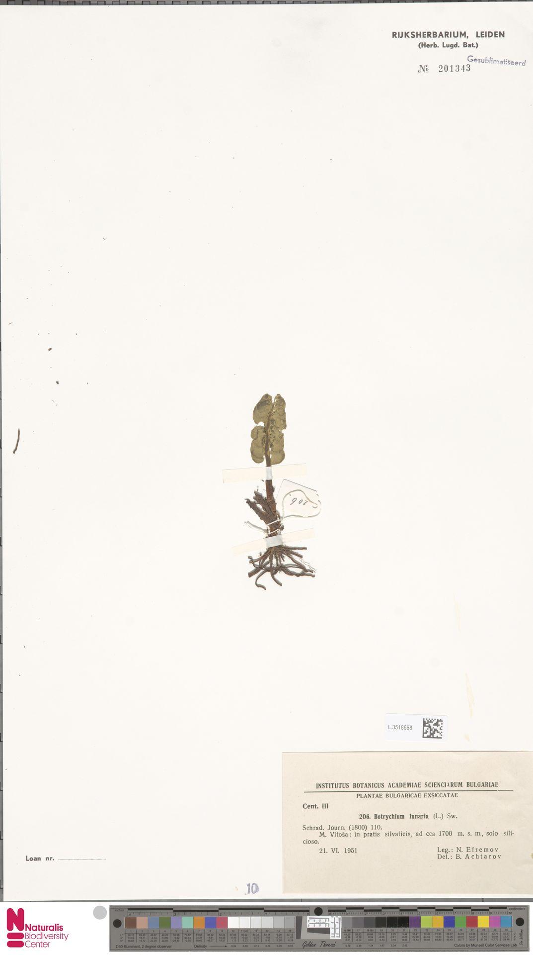 L.3518668 | Botrychium lunaria (L.) Sw.