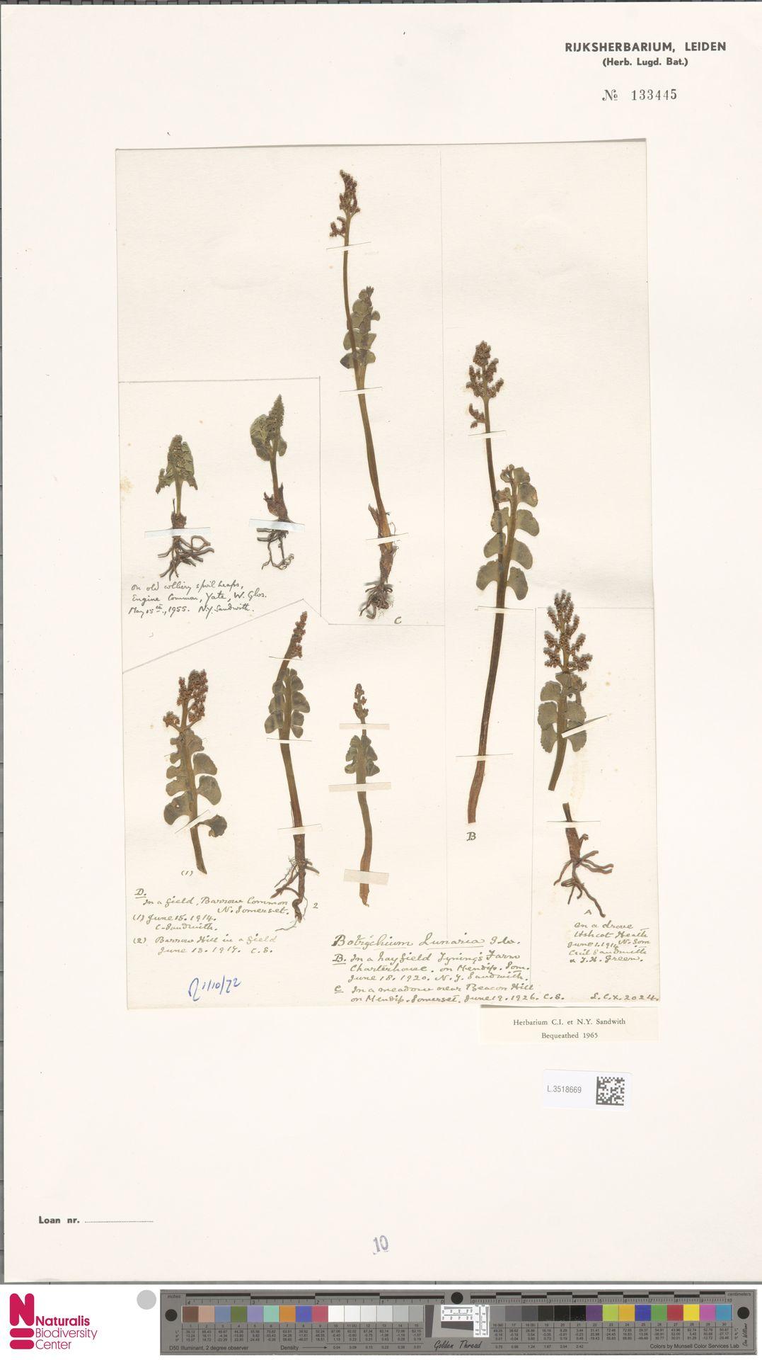L.3518669 | Botrychium lunaria (L.) Sw.