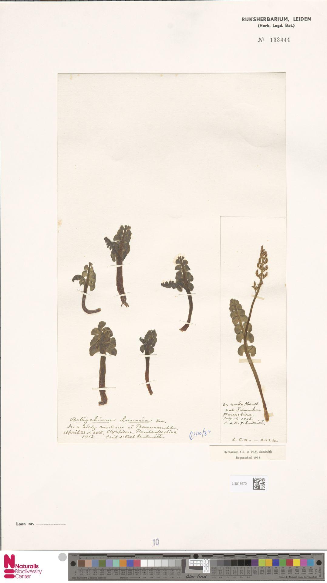 L.3518670 | Botrychium lunaria (L.) Sw.