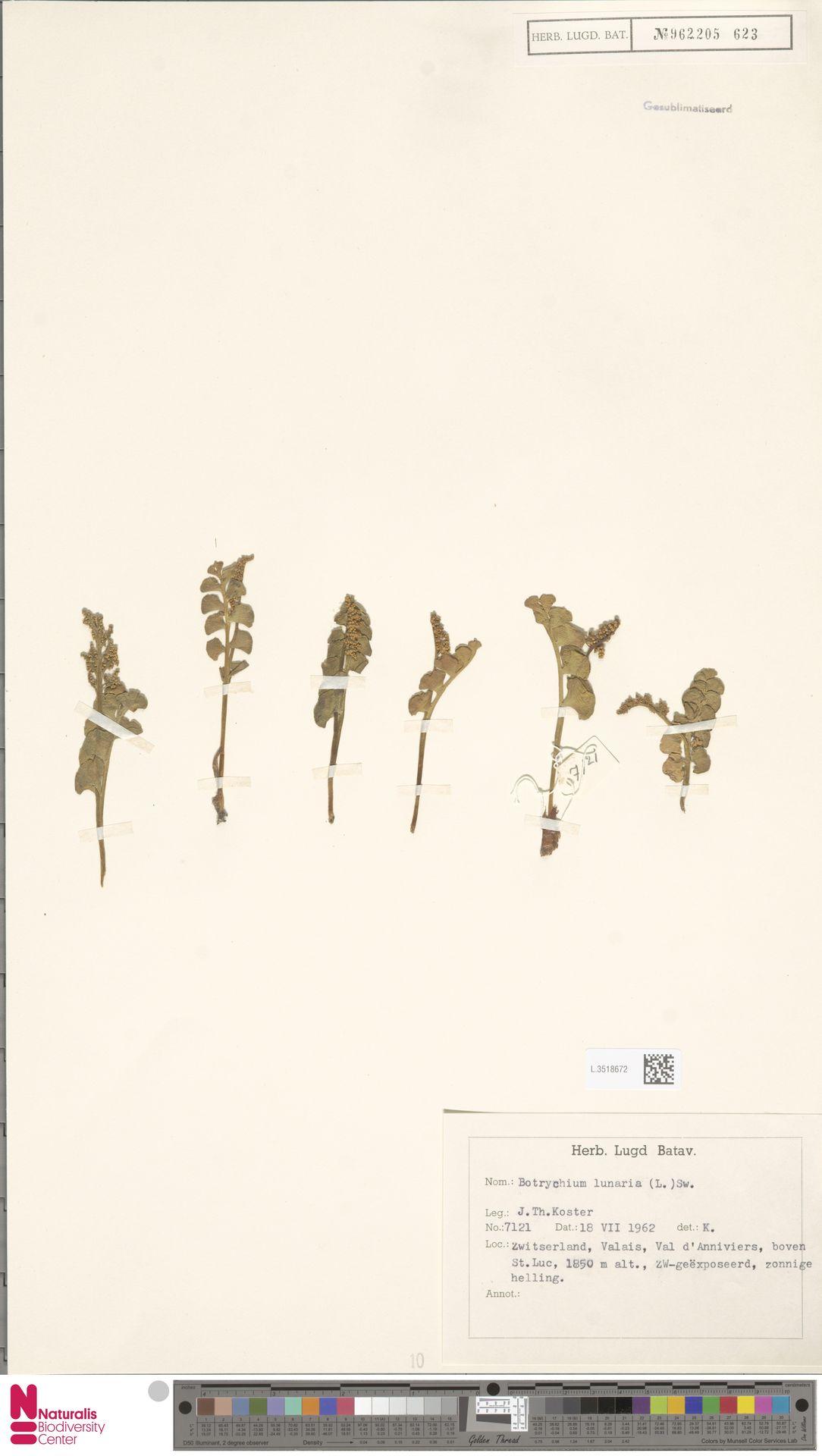 L.3518672 | Botrychium lunaria (L.) Sw.
