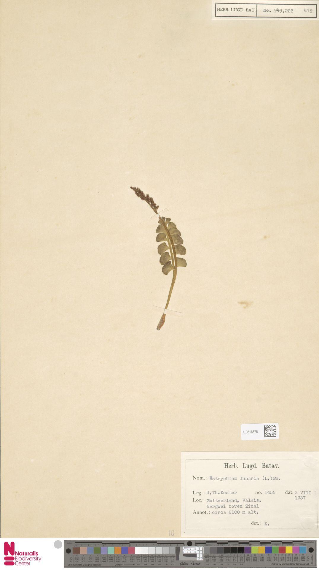 L.3518675 | Botrychium lunaria (L.) Sw.