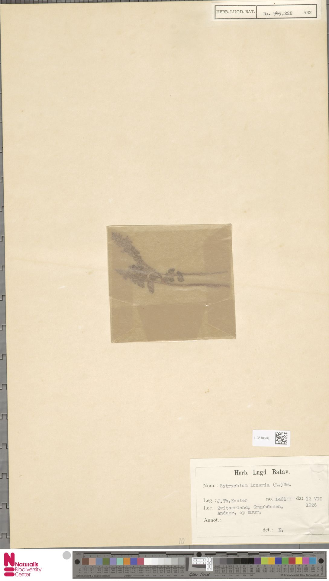 L.3518676 | Botrychium lunaria (L.) Sw.