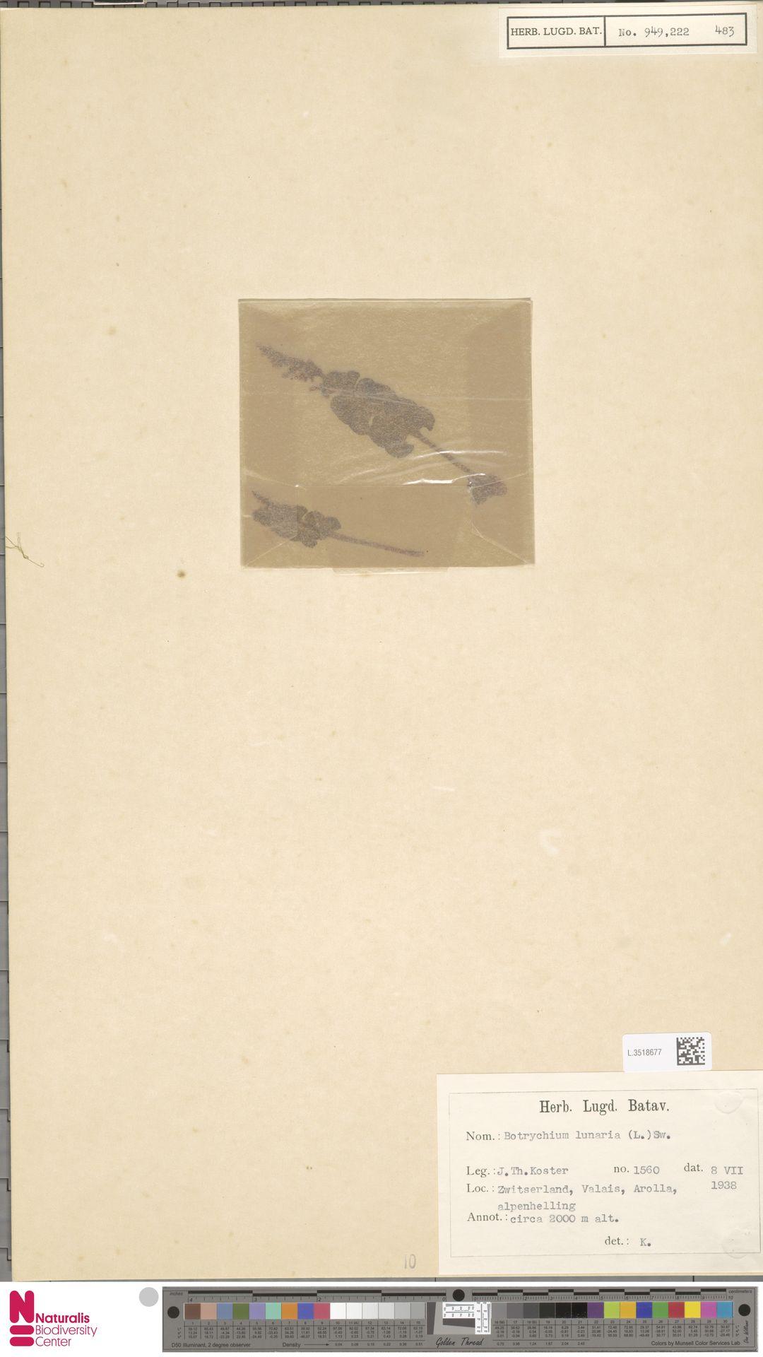 L.3518677 | Botrychium lunaria (L.) Sw.