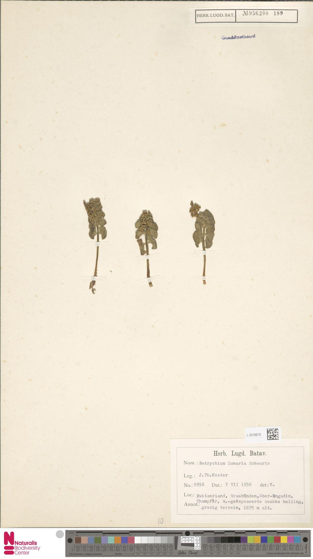 L.3518678 | Botrychium lunaria (L.) Sw.