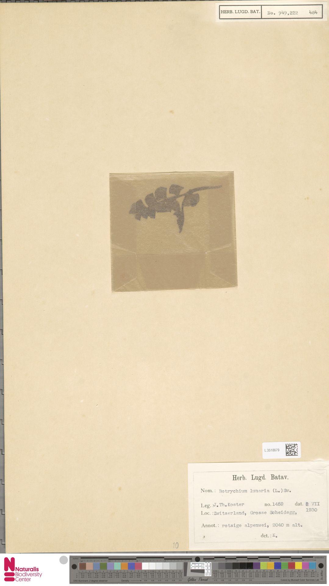 L.3518679 | Botrychium lunaria (L.) Sw.