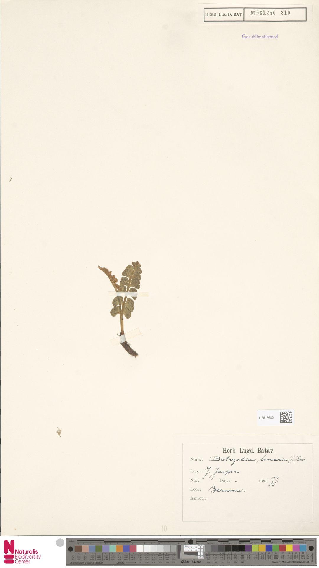 L.3518680 | Botrychium lunaria (L.) Sw.