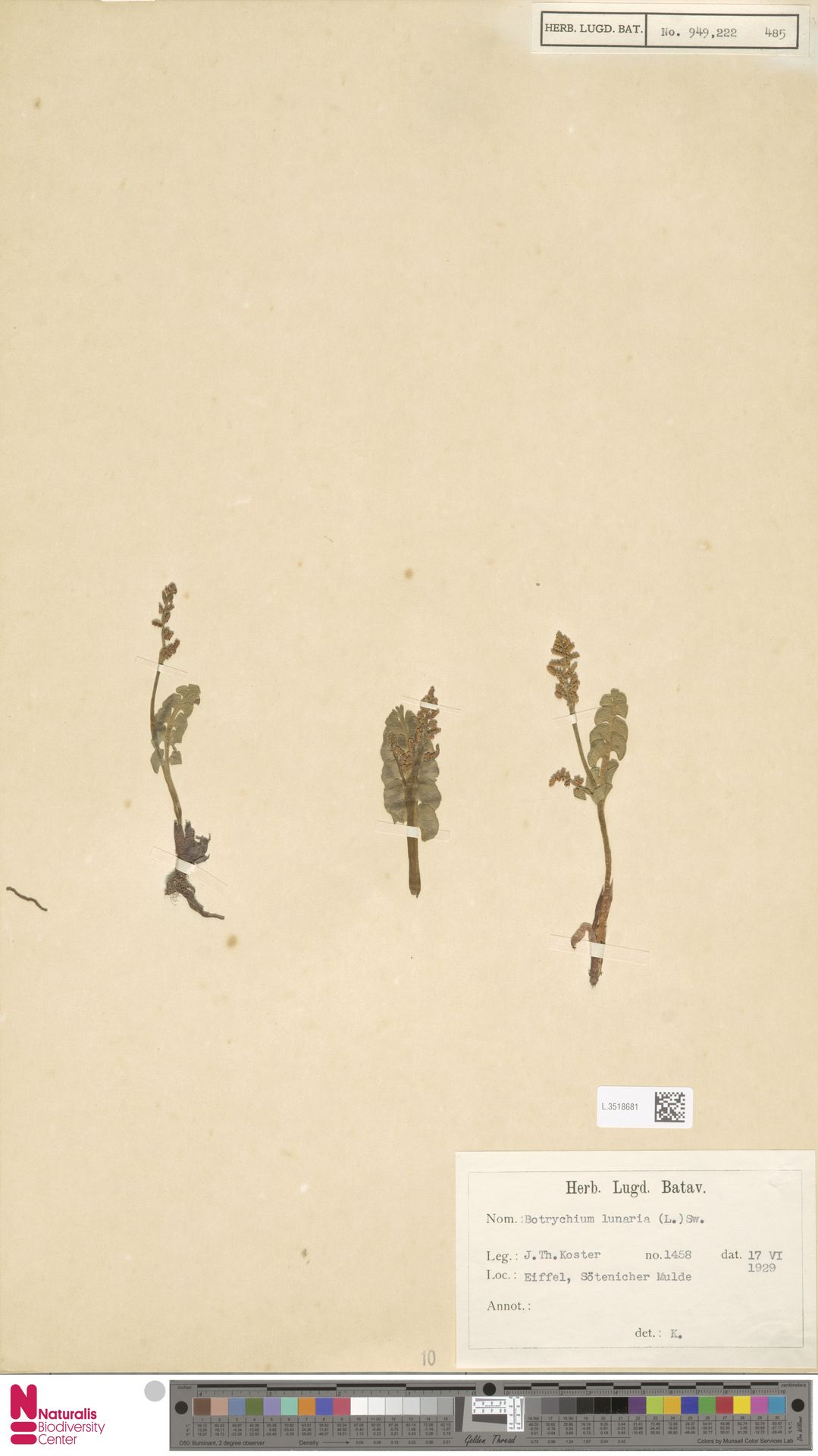 L.3518681 | Botrychium lunaria (L.) Sw.