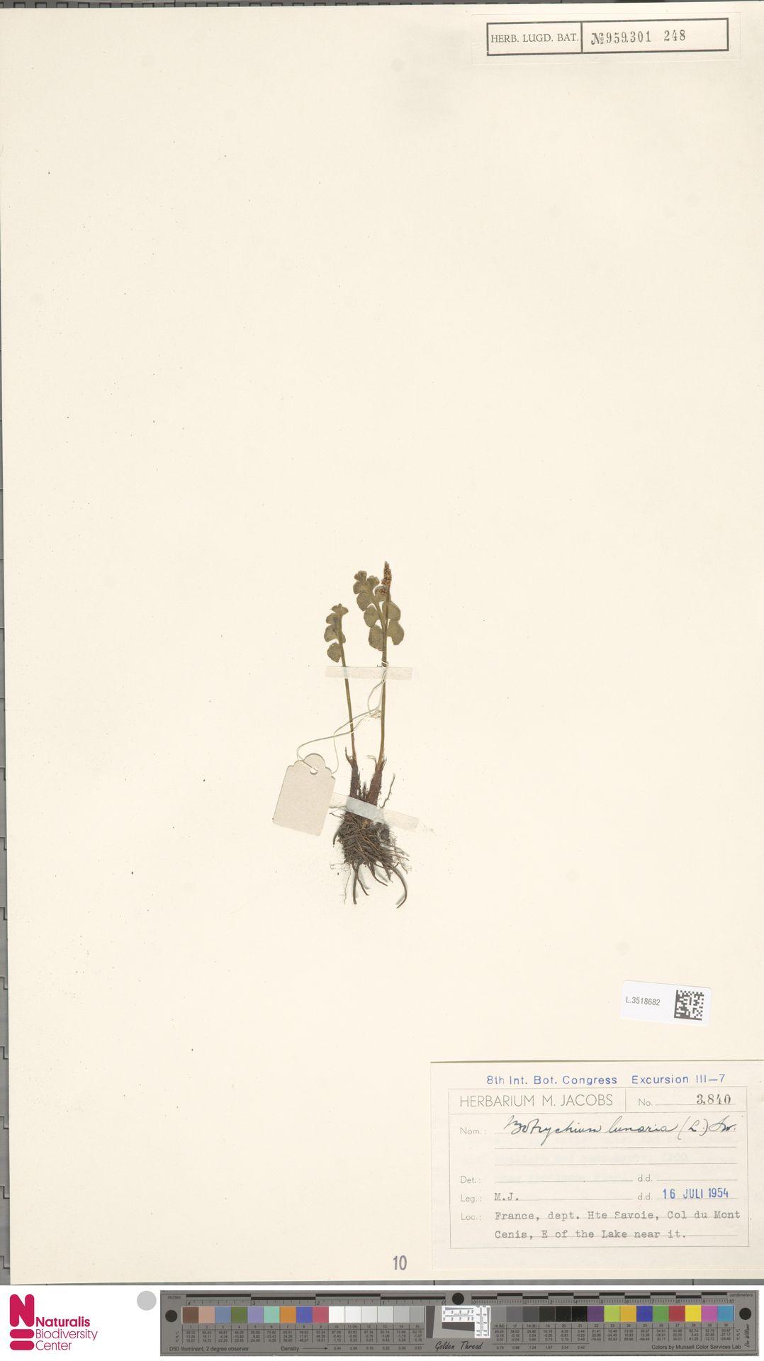 L.3518682 | Botrychium lunaria (L.) Sw.