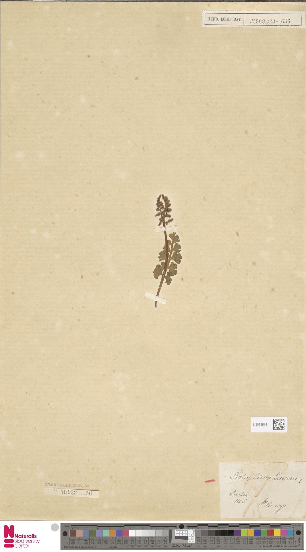 L.3518684   Botrychium lunaria (L.) Sw.