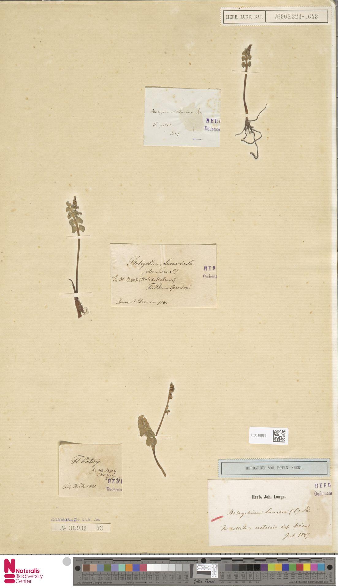 L.3518686 | Botrychium lunaria (L.) Sw.