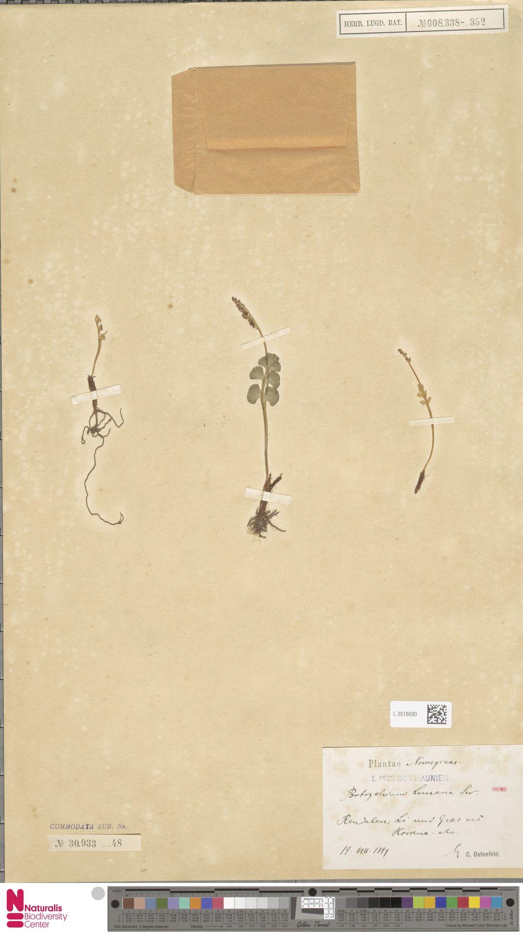 L.3518690 | Botrychium lunaria (L.) Sw.