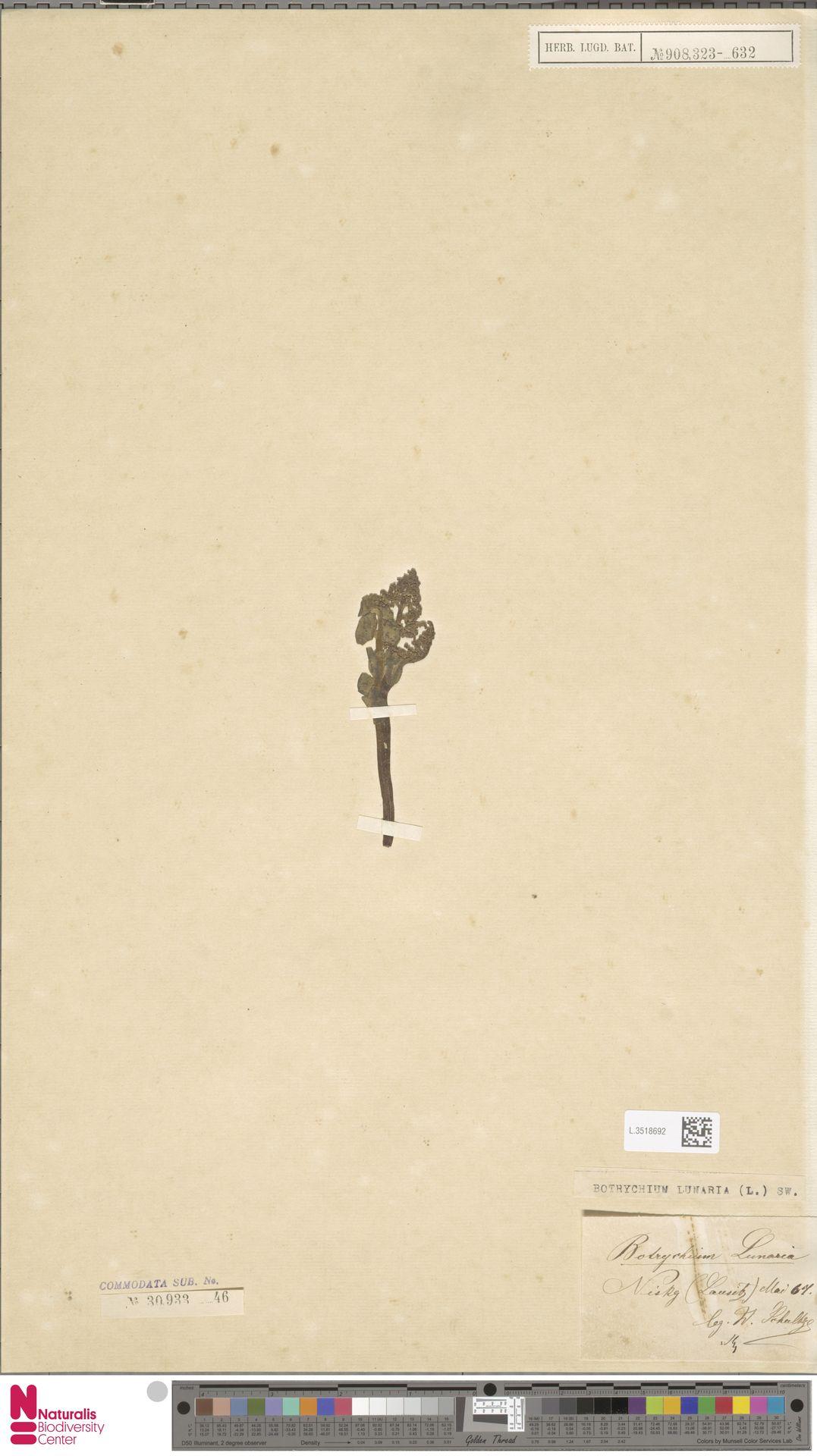 L.3518692 | Botrychium lunaria (L.) Sw.